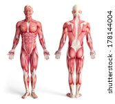 male anatomy of muscular system ... | Shutterstock . vector #178144004