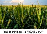 Field Of Corn From Eye Level...