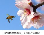Bee And Pink Almond Flower...