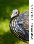 Small photo of Vulturine Guinea fowl (Acryllium vulturinum)