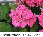 Pink Geranium Flowers In...