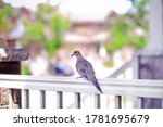 Mourning Dove Standing On...