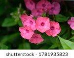 Perennial Phlox Early Red  ...
