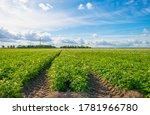 Potato Plants Growing And...