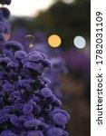 Verbena Flowers. Purple Verben...