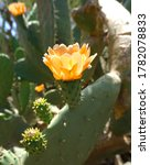 Opuntia Or Prickly Pear Flower...