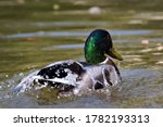 Male Mallard Portrait In A Lake