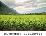 Small photo of A nursery field of grafting young baby grapevines in French vineyard in Savoie region, mountain and cloudy sky. Graft process is a pest resistant grape vine onto a less resistant vine before planting