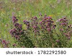 Blooming Purple Top Vervain In...