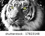 sumatran tiger black and white... | Shutterstock . vector #17823148