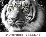 sumatran tiger black and white... | Shutterstock . vector #17823148