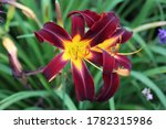 """Close up of two blooming Hemerocallis """"Black Plus"""" Daylilies in a garden in Janesville, Wisconsin, USA"""