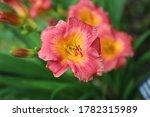 "Close up of a Hemerocallis ""Bangkok Belle"" Daylily in a garden in Janesville, Wisconsin, USA"