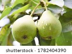 Green Pears Hanging On A Branc...