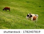 Several Colorful Cows Grazing...