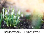 Постер, плакат: first spring flowers snowdrops