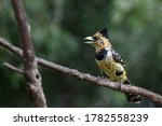 Crested Barbet Perched In A Tree