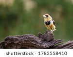 Crested Barbet Perched In A...