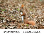 The Red Squirrel Or Eurasian...
