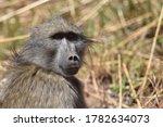 Chacma baboon  papio ursinus ...