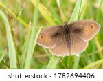 A Meadow Brown Butterfly...