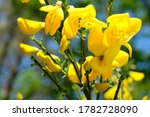 The Gorse Bush Has Yellow...