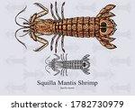 squilla mantis shrimp. vector... | Shutterstock .eps vector #1782730979