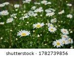 Flowering Of White Daisies ...