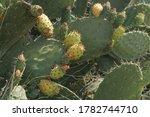 Cactus Bush Bears Fruit In The...