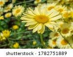 Yellow Daisy In Garden On Sunny ...