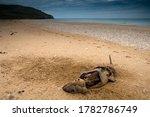 Dead mammal on the coast of the ...