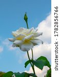 Small photo of Voluptuous white rose with green leaves. Massive flower illuminated by the sun in spring under the blue sky