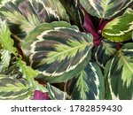 closeup of isoalted leaves of...   Shutterstock . vector #1782859430