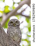 Spotted owlet in the hollow of tree, park of Thailand. / Spotted Owlet in the garden. / Spotted owlet (Athene brama) in tree hollow. - stock photo