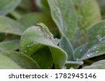 Green Anole Lizard On Lamb\'s...