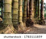 Bamboo Roots  Many Small And...