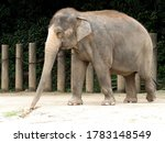 Asian elephant. it is a large...