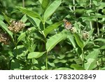Monarch Butterfly on Milkweed Plant Blossom