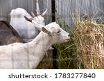 White Young Goat Eating Hay...