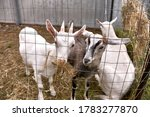 Young Goats Eating Hay Behind ...