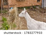 Young Goat Eating Hay Behind A...