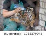 A Caretaker Feeds The Tiger...