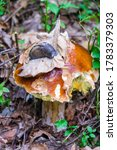 A Large Edible Mushroom With A...