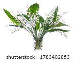 Lily Of The Valley  Convallari...