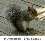 A Cute Eastern Grey Squirrel...