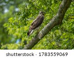 Cooper's Hawk In A Tree On A...