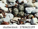 killdeer eggs in nest amongst stones
