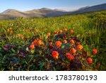 Cloudberry  rubus chamaemorus ...