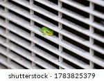 Japanese Tree Frog Resting In...
