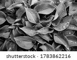 Hosta Large Green Leaves With...